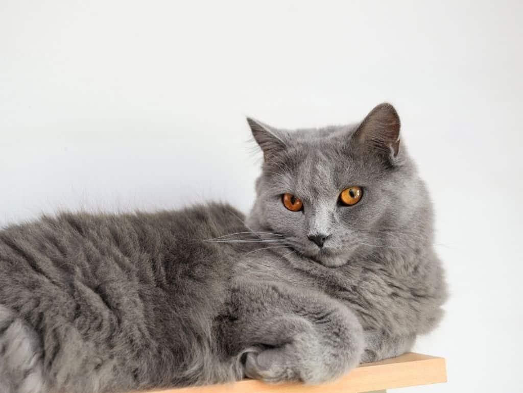 Die Chartreux Katze ist eine der größten Katzenrassen der Welt.
